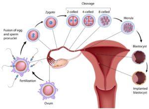 Natural Cycle IVF