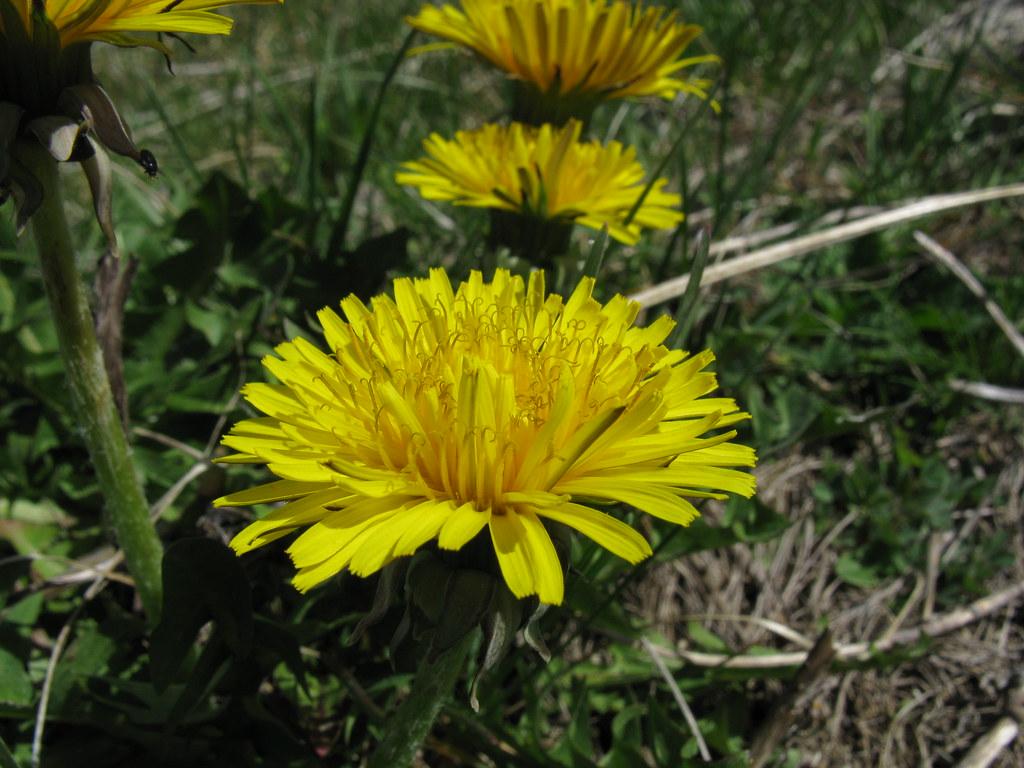Image result for Dandelion Root – Dandelion Leaf herb