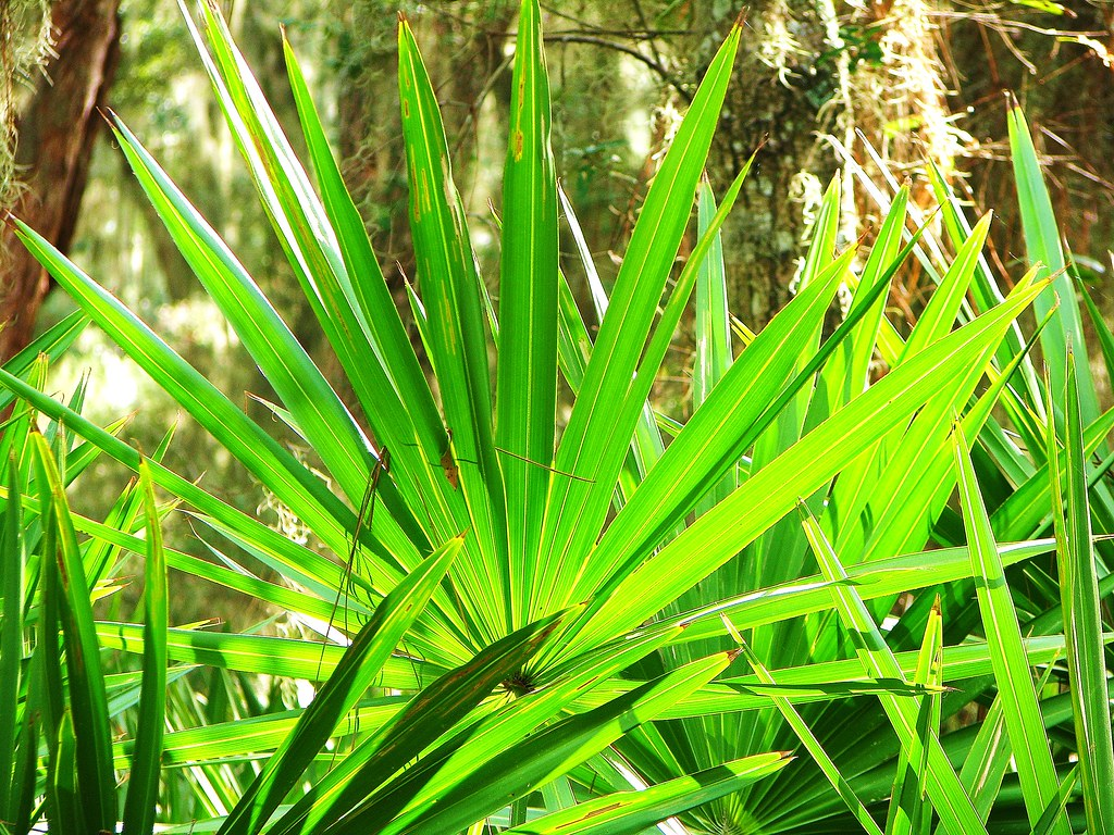 Image result for saw palmetto herb