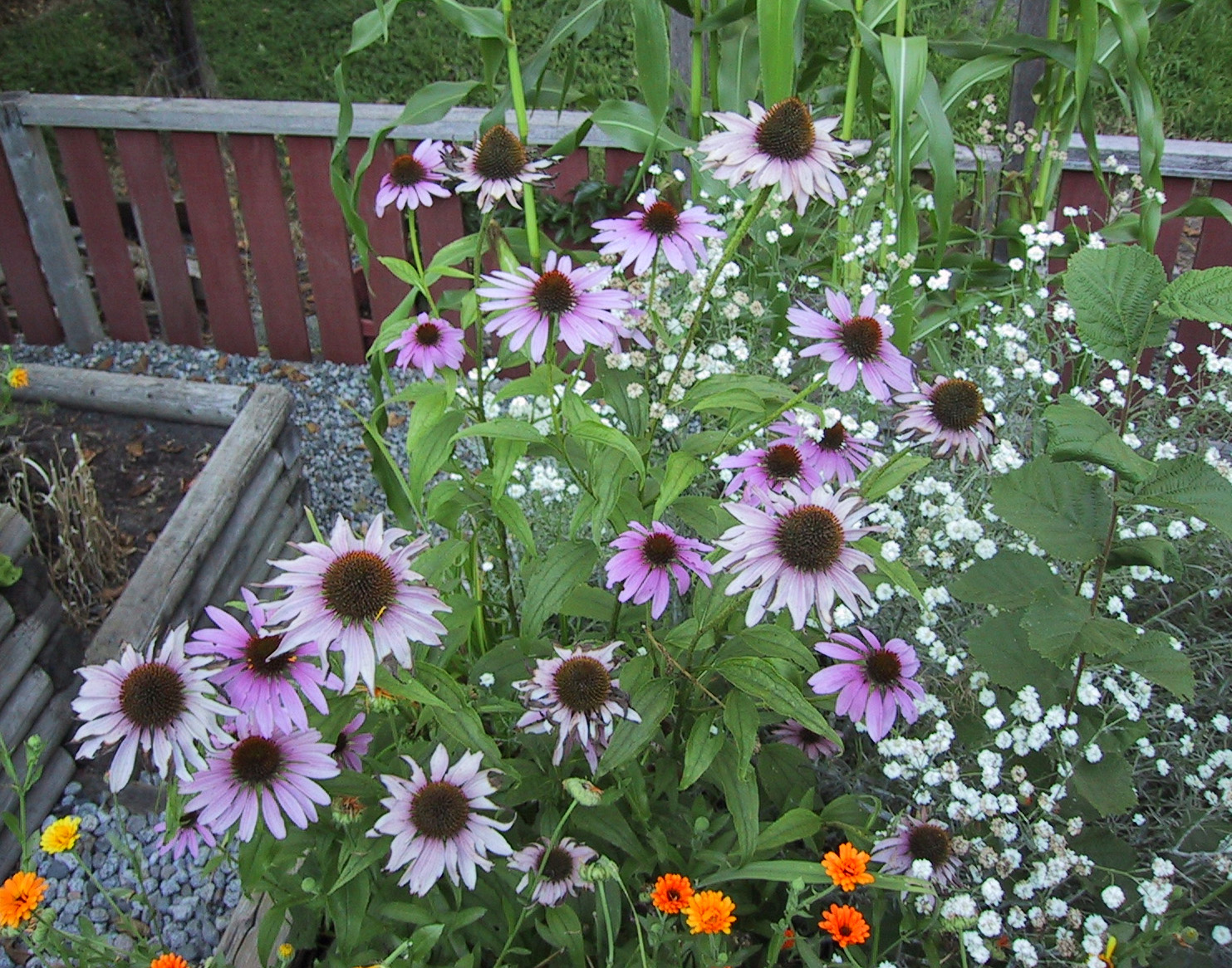 Echinacea history and uses