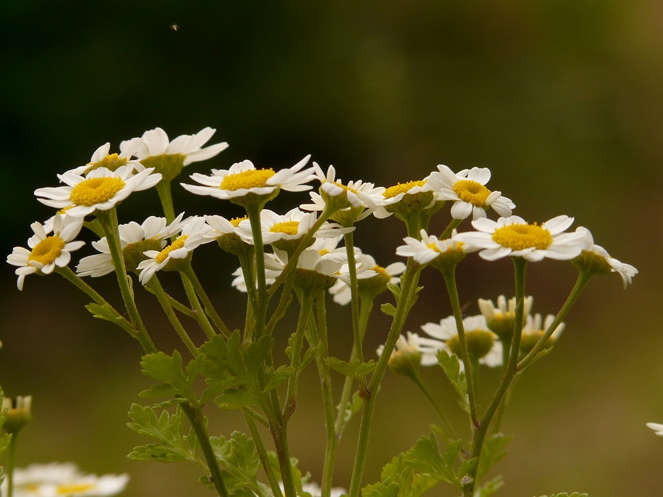 Image result for Feverfew herb