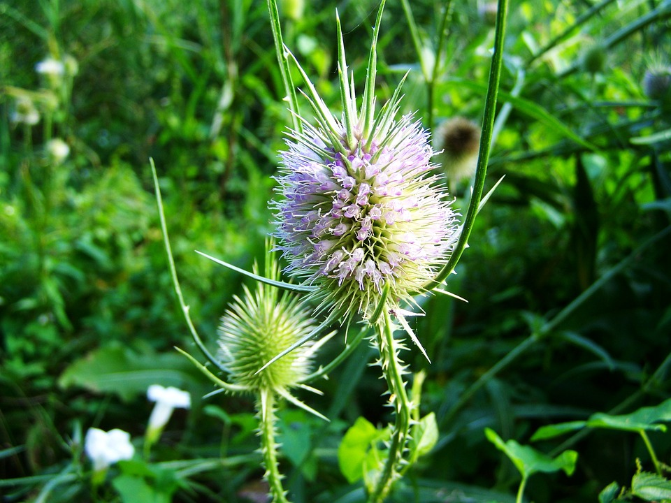 Image result for Milk Thistle herb